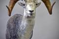 Stone sheep #4