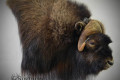 Muskox side profile pic_edited-1